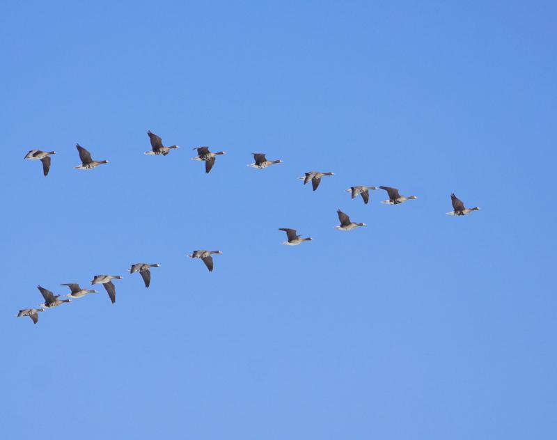 「渡り鳥の群れ」の画像検索結果