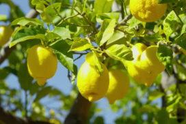 短編小説 檸檬の棘 ver.4